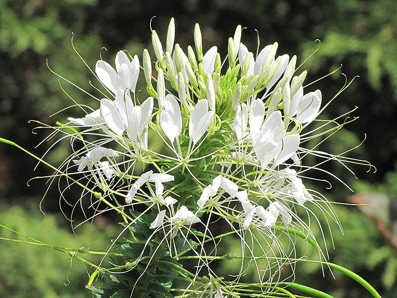 Sparkler White Spiderflower Cleome Hassleriana Sparkler White