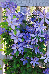 Mrs. Cholmondeley Clematis (Clematis 'Mrs. Cholmondeley') at Woldhuis Farms Sunrise Greenhouses
