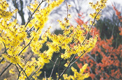 Arnold Promise Witchhazel (Hamamelis x intermedia 'Arnold Promise') at Woldhuis Farms Sunrise Greenhouses