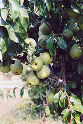Anjou Pear (Pyrus communis 'Anjou') at Woldhuis Farms Sunrise Greenhouses
