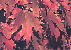 Firefall Maple (Acer x freemanii 'Firefall') at Woldhuis Farms Sunrise Greenhouses