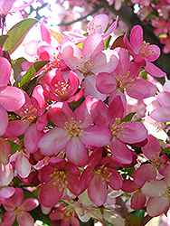 Camelot Flowering Crab (Malus 'Camelot') at Woldhuis Farms Sunrise Greenhouses
