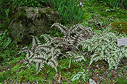 Japanese Painted Fern (Athyrium nipponicum 'Pictum') at Woldhuis Farms Sunrise Greenhouses