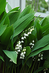 Lily-Of-The-Valley (Convallaria majalis) at Woldhuis Farms Sunrise Greenhouses