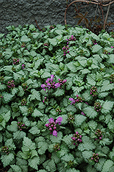 Red Nancy Spotted Dead Nettle (Lamium maculatum 'Red Nancy') at Woldhuis Farms Sunrise Greenhouses