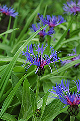 Mountain Bluet (Centaurea montana) at Woldhuis Farms Sunrise Greenhouses