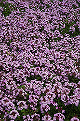 Red Creeping Thyme (Thymus praecox 'Coccineus') at Woldhuis Farms Sunrise Greenhouses