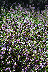 Lemon Thyme (Thymus x citriodorus) at Woldhuis Farms Sunrise Greenhouses
