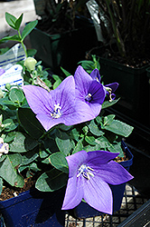 Astra Blue Balloon Flower (Platycodon grandiflorus 'Astra Blue') at Woldhuis Farms Sunrise Greenhouses