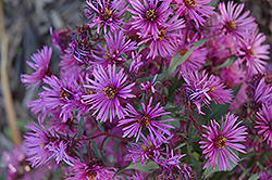 Woods Pink Aster (Aster 'Woods Pink') at Woldhuis Farms Sunrise Greenhouses