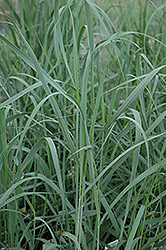 Heavy Metal Blue Switch Grass (Panicum virgatum 'Heavy Metal') at Woldhuis Farms Sunrise Greenhouses
