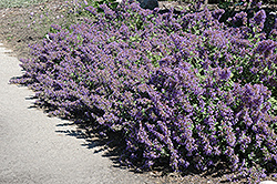 Walker's Low Catmint (Nepeta x faassenii 'Walker's Low') at Woldhuis Farms Sunrise Greenhouses
