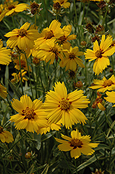 Tequila Sunrise Tickseed (Coreopsis 'Tequila Sunrise') at Woldhuis Farms Sunrise Greenhouses