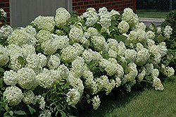 Annabelle Hydrangea (Hydrangea arborescens 'Annabelle') at Woldhuis Farms Sunrise Greenhouses