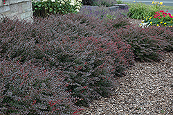Crimson Pygmy Japanese Barberry (Berberis thunbergii 'Crimson Pygmy') at Woldhuis Farms Sunrise Greenhouses