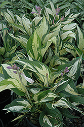 Revolution Hosta (Hosta 'Revolution') at Woldhuis Farms Sunrise Greenhouses