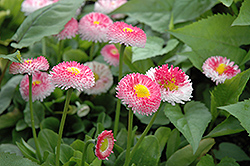 Bellisima Rose English Daisy (Bellis perennis 'Bellissima Rose') at Woldhuis Farms Sunrise Greenhouses