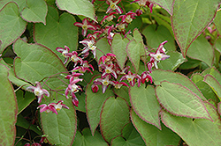 Bishop's Hat (Epimedium x rubrum) at Woldhuis Farms Sunrise Greenhouses