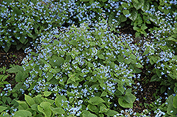 Siberian Bugloss (Brunnera macrophylla) at Woldhuis Farms Sunrise Greenhouses