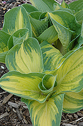 Great Expectations Hosta (Hosta 'Great Expectations') at Woldhuis Farms Sunrise Greenhouses
