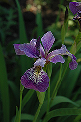 Blue Flag Iris (Iris versicolor) at Woldhuis Farms Sunrise Greenhouses