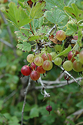 Pixwell Gooseberry (Ribes 'Pixwell') at Woldhuis Farms Sunrise Greenhouses