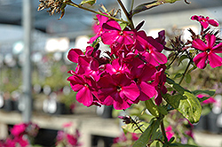 Red Magic Garden Phlox (Phlox paniculata 'Red Magic') at Woldhuis Farms Sunrise Greenhouses
