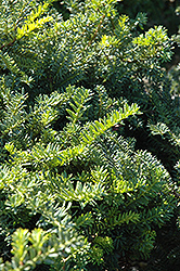 Emerald Spreader Yew (Taxus cuspidata 'Emerald Spreader') at Woldhuis Farms Sunrise Greenhouses