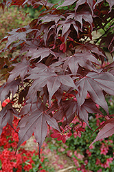 Bloodgood Japanese Maple (Acer palmatum 'Bloodgood') at Woldhuis Farms Sunrise Greenhouses