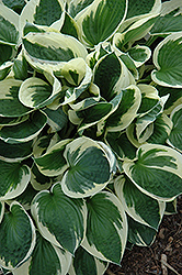Patriot Hosta (Hosta 'Patriot') at Woldhuis Farms Sunrise Greenhouses
