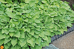 Birchwood Parky's Gold Hosta (Hosta 'Birchwood Parky's Gold') at Woldhuis Farms Sunrise Greenhouses