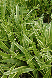 Variegata Lily Turf (Liriope muscari 'Variegata') at Woldhuis Farms Sunrise Greenhouses