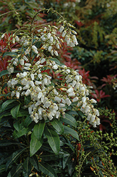 Mountain Fire Japanese Pieris (Pieris japonica 'Mountain Fire') at Woldhuis Farms Sunrise Greenhouses