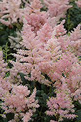 Peach Blossom Astilbe (Astilbe x rosea 'Peach Blossom') at Woldhuis Farms Sunrise Greenhouses