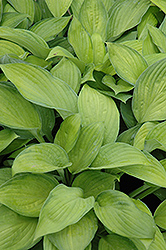 Gold Standard Hosta (Hosta 'Gold Standard') at Woldhuis Farms Sunrise Greenhouses