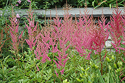 Visions in Pink Chinese Astilbe (Astilbe chinensis 'Visions in Pink') at Woldhuis Farms Sunrise Greenhouses