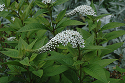 Gooseneck Loosestrife (Lysimachia clethroides) at Woldhuis Farms Sunrise Greenhouses