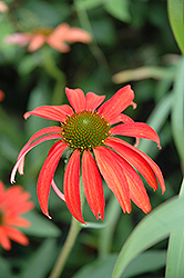 Tomato Soup Coneflower (Echinacea 'Tomato Soup') at Woldhuis Farms Sunrise Greenhouses