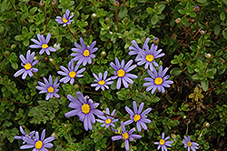 Blue Daisy (Felicia amelloides) at Woldhuis Farms Sunrise Greenhouses