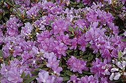 Purple Gem Rhododendron (Rhododendron 'Purple Gem') at Woldhuis Farms Sunrise Greenhouses