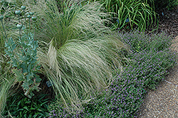 Mexican Feather Grass (Nassella tenuissima) at Woldhuis Farms Sunrise Greenhouses