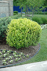 Golden Privet (Ligustrum x vicaryi) at Woldhuis Farms Sunrise Greenhouses