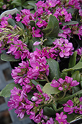 Spring Charm Rock Cress (Arabis 'Spring Charm') at Woldhuis Farms Sunrise Greenhouses