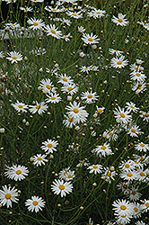 Marguerite Daisy (Argyranthemum gracile) at Woldhuis Farms Sunrise Greenhouses
