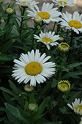Snow Lady Shasta Daisy (Leucanthemum x superbum 'Snow Lady') at Woldhuis Farms Sunrise Greenhouses