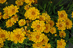 Jethro Tull Tickseed (Coreopsis 'Jethro Tull') at Woldhuis Farms Sunrise Greenhouses