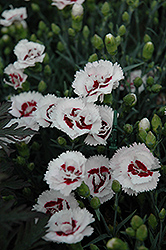 Scent First® Coconut Surprise Pinks (Dianthus 'WP05Yves') at Woldhuis Farms Sunrise Greenhouses