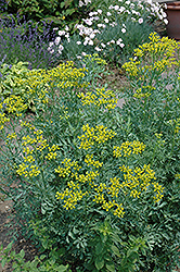 Common Rue (Ruta graveolens) at Woldhuis Farms Sunrise Greenhouses