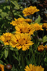 Sunfire Tickseed (Coreopsis grandiflora 'Sunfire') at Woldhuis Farms Sunrise Greenhouses