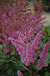 Maggie Daley Astilbe (Astilbe chinensis 'Maggie Daley') at Woldhuis Farms Sunrise Greenhouses